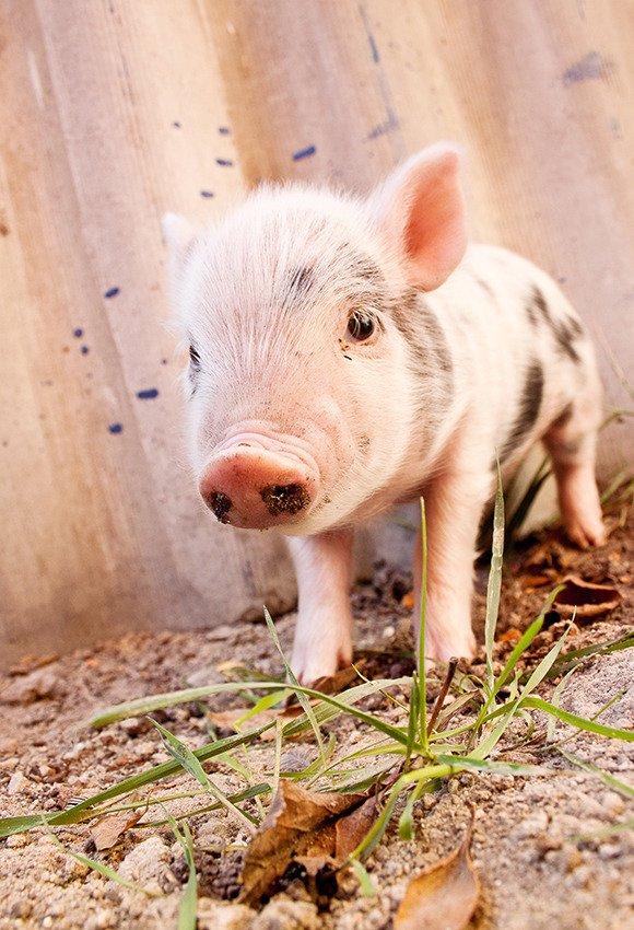 Muddy piglet